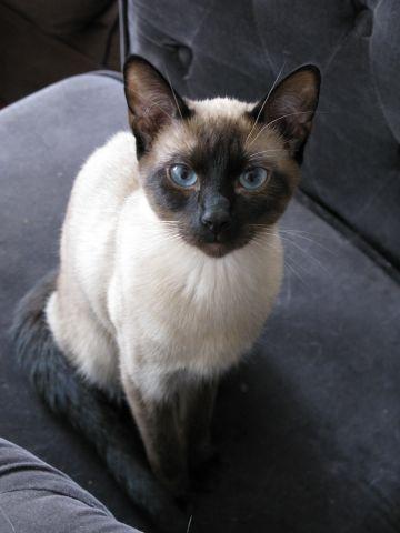 chatons siamois thai disponible en octobre petites annonces animaux lyon. Black Bedroom Furniture Sets. Home Design Ideas